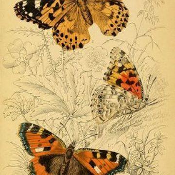 מעוף הפרפר